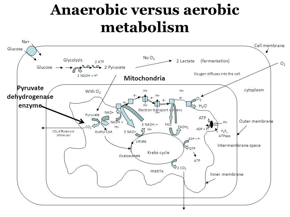 Anaerobic versus aerobic metabolism Pyruvate dehydrogenase enzyme