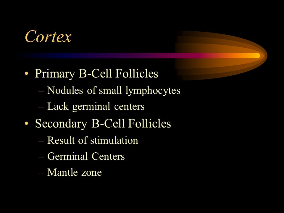 Cortex Primary B-Cell Follicles Secondary B-Cell Follicles