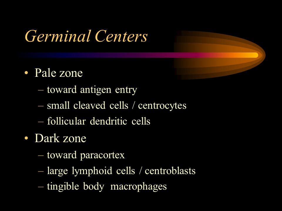 Germinal Centers Pale zone Dark zone toward antigen entry