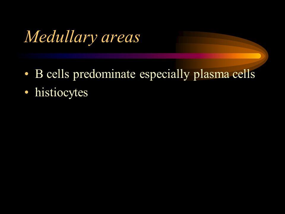 Medullary areas B cells predominate especially plasma cells