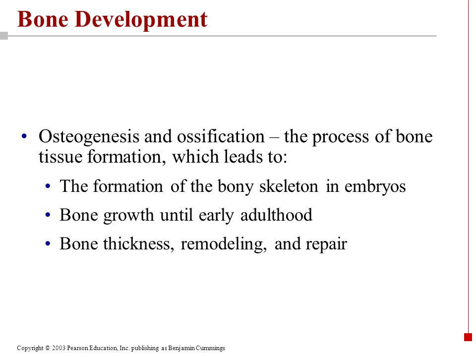 Bone Development Osteogenesis and ossification – the process of bone tissue formation, which leads to: