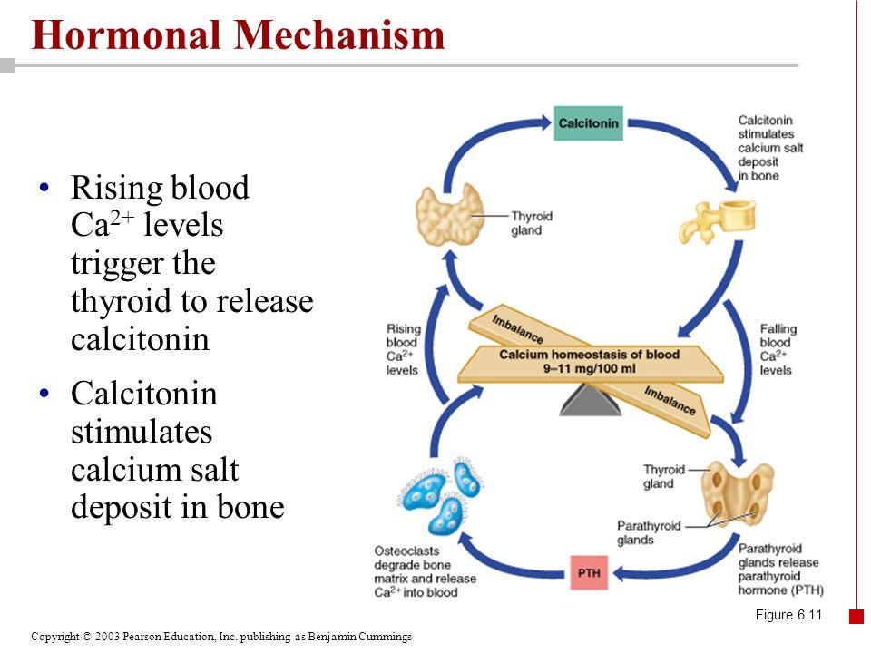 Hormonal Mechanism Rising blood Ca2+ levels trigger the thyroid to release calcitonin. Calcitonin stimulates calcium salt deposit in bone.