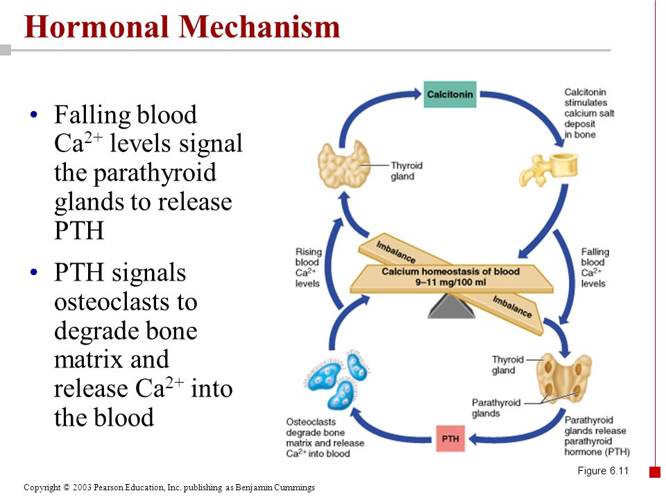 Hormonal Mechanism Falling blood Ca2+ levels signal the parathyroid glands to release PTH.