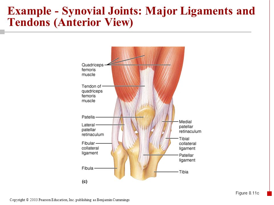 Example - Synovial Joints: Major Ligaments and Tendons (Anterior View)