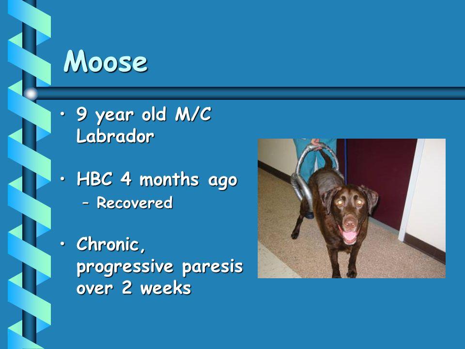 Moose 9 year old M/C Labrador HBC 4 months ago