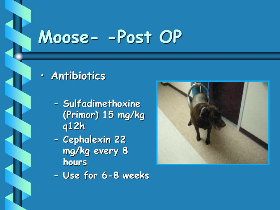 Moose- -Post OP Antibiotics Sulfadimethoxine (Primor) 15 mg/kg q12h