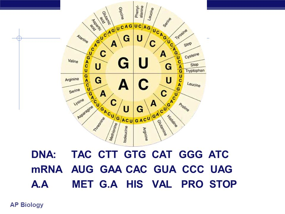 DNA: TAC CTT GTG CAT GGG ATC mRNA AUG GAA CAC GUA CCC UAG