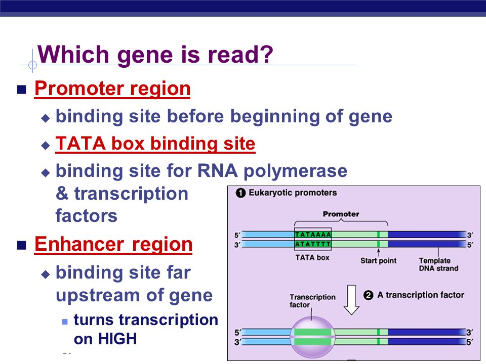 Which gene is read Promoter region Enhancer region