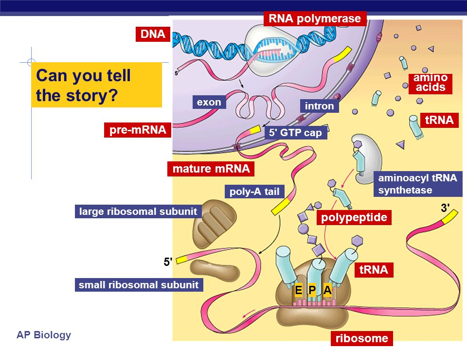 Can you tell the story RNA polymerase DNA amino acids tRNA pre-mRNA