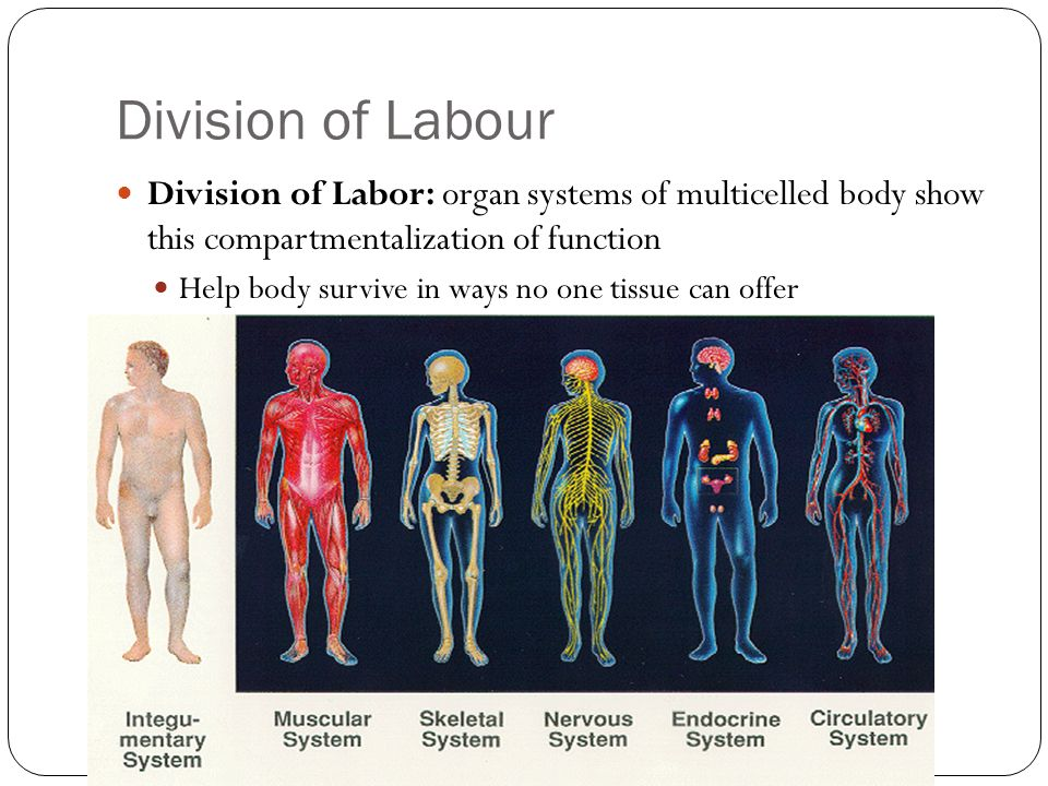 Division of LabourDivision of Labor: organ systems of multicelled body show this compartmentalization of function.