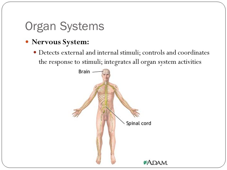 Organ Systems Nervous System: