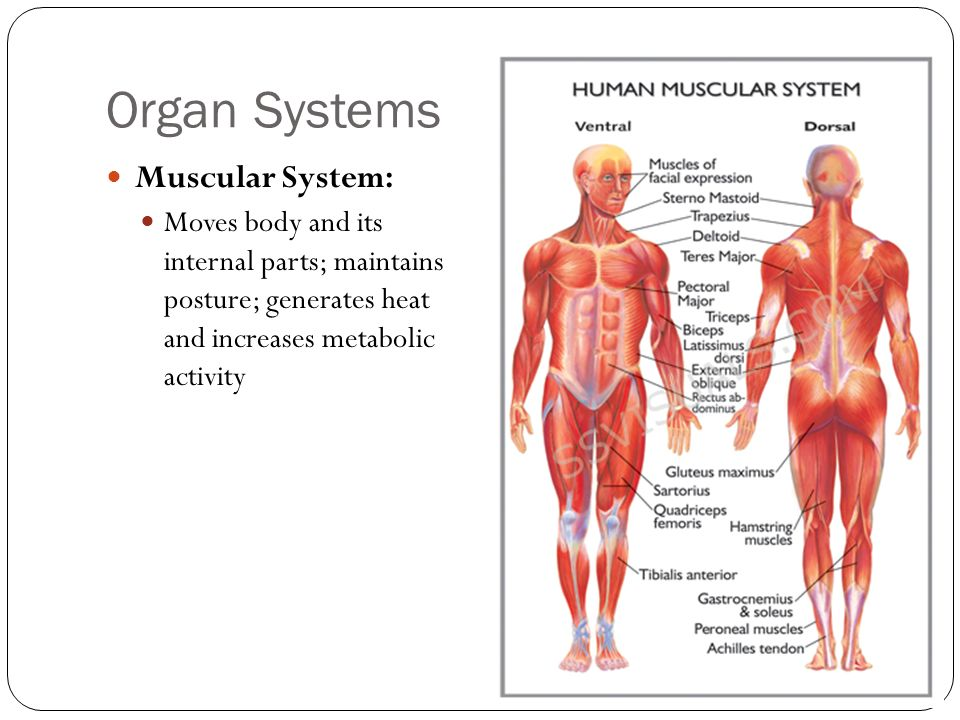 Organ Systems Muscular System:
