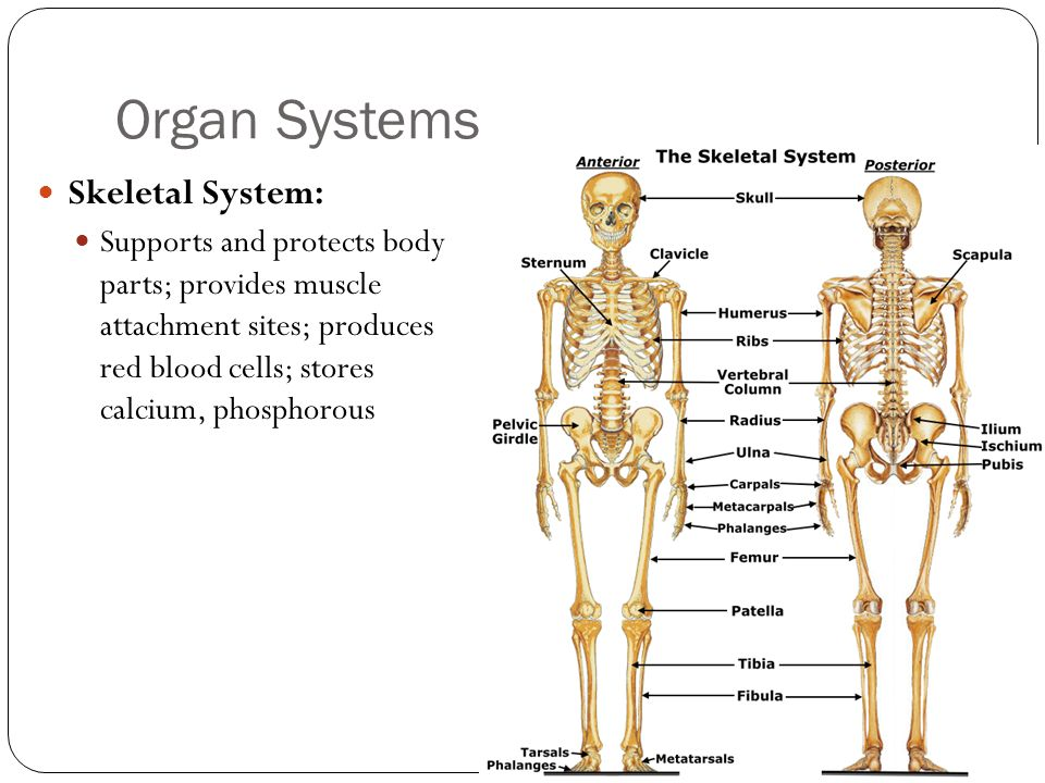 Organ Systems Skeletal System: