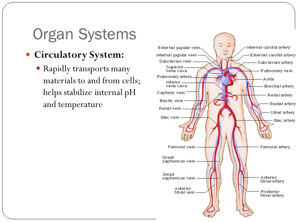 Organ Systems Circulatory System: