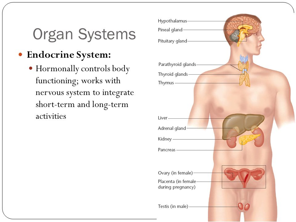 Organ Systems Endocrine System: