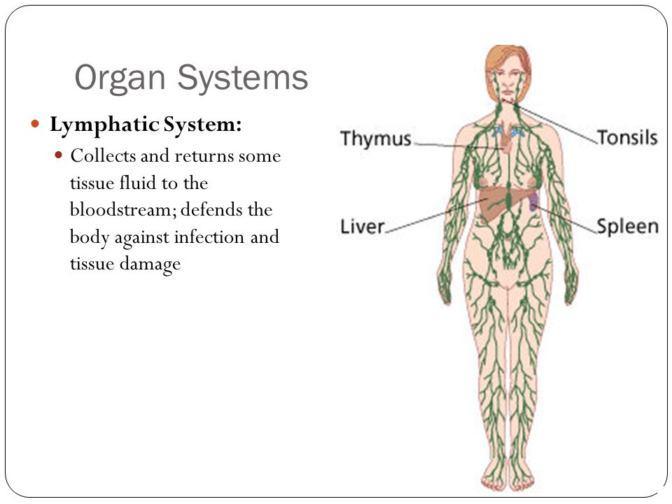 Organ Systems Lymphatic System: