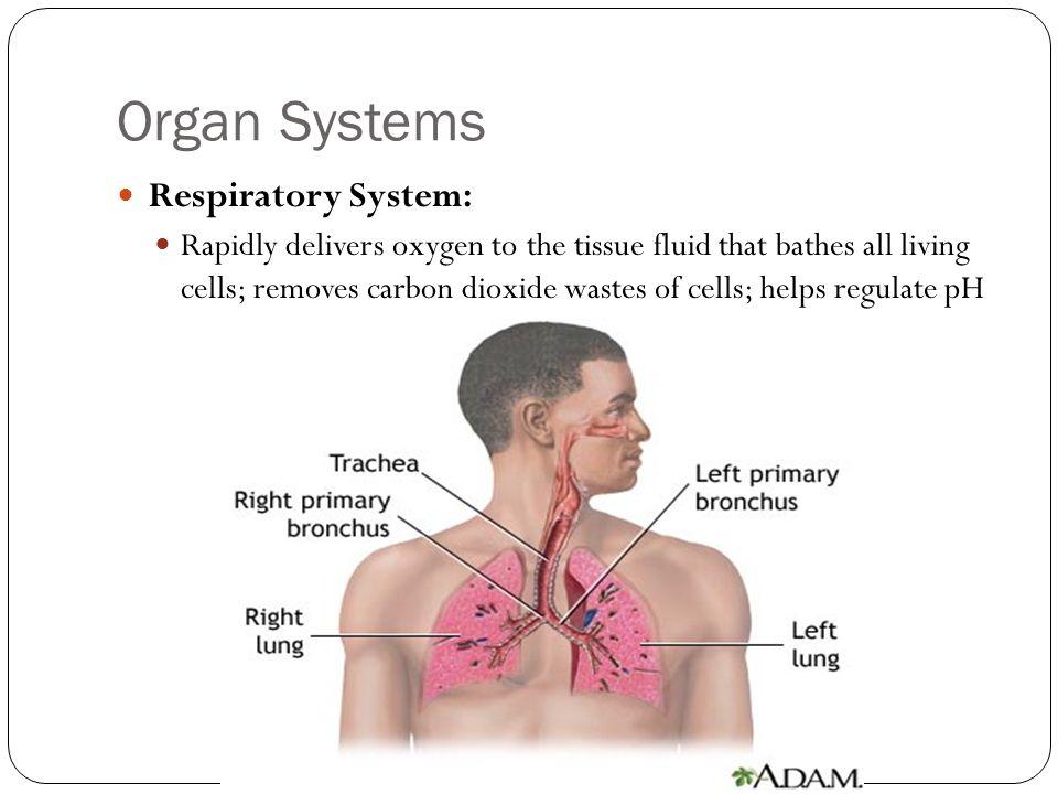 Organ Systems Respiratory System: