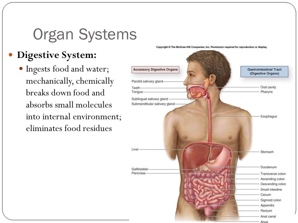 Organ Systems Digestive System: