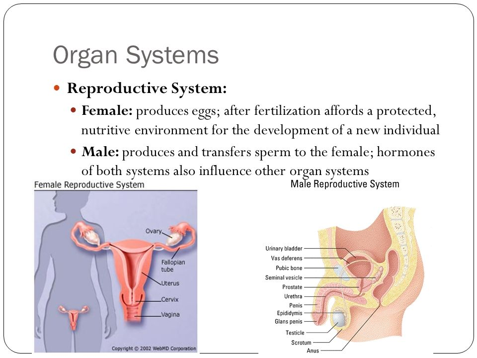 Organ Systems Reproductive System: