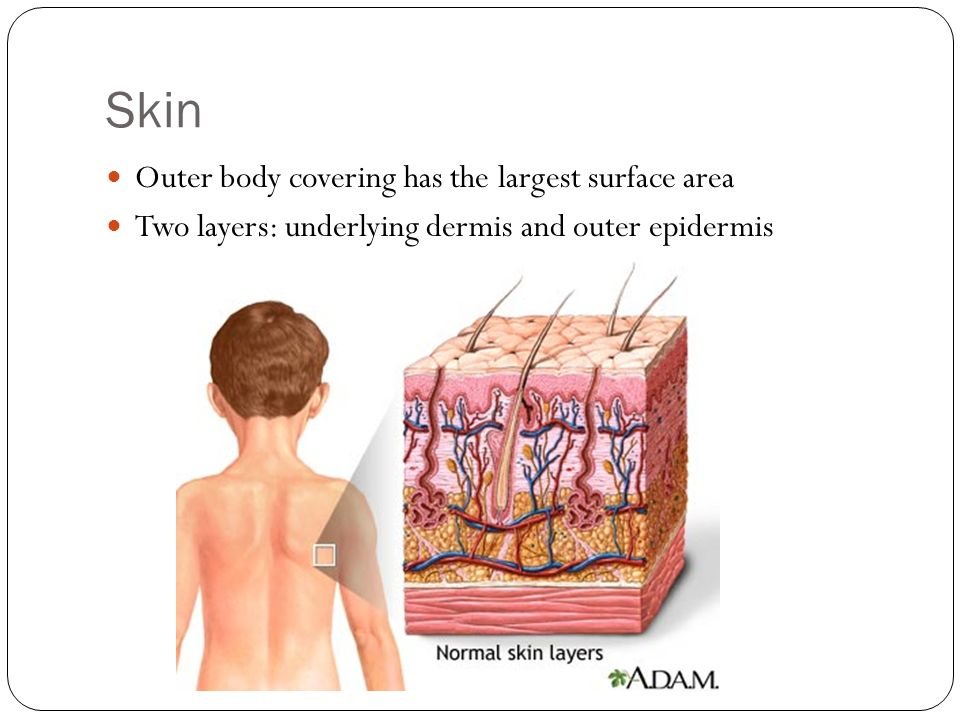 Skin Outer body covering has the largest surface area