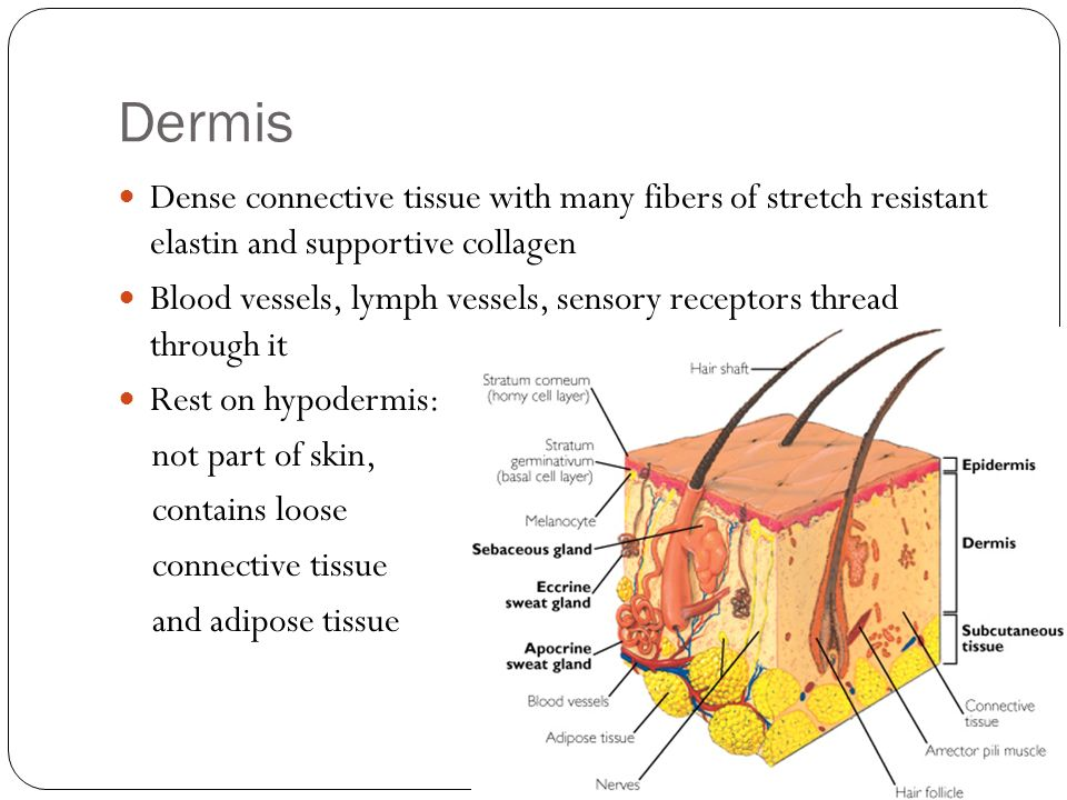 Dermis Dense connective tissue with many fibers of stretch resistant elastin and supportive collagen.