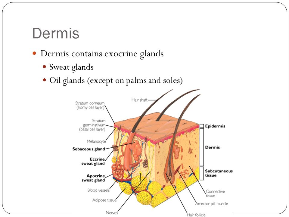 Dermis Dermis contains exocrine glands Sweat glands