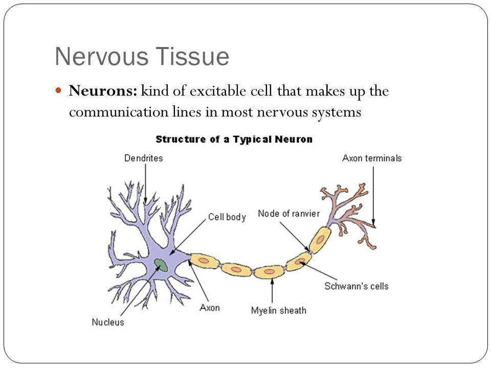 Nervous TissueNeurons: kind of excitable cell that makes up the communication lines in most nervous systems.