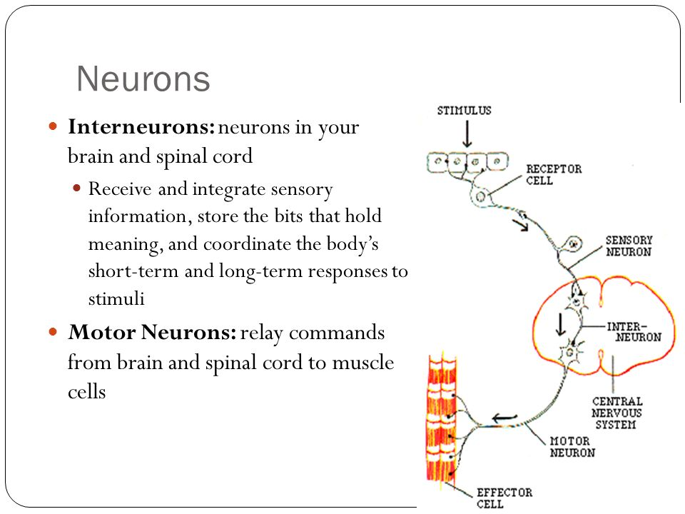 Neurons Interneurons: neurons in your brain and spinal cord