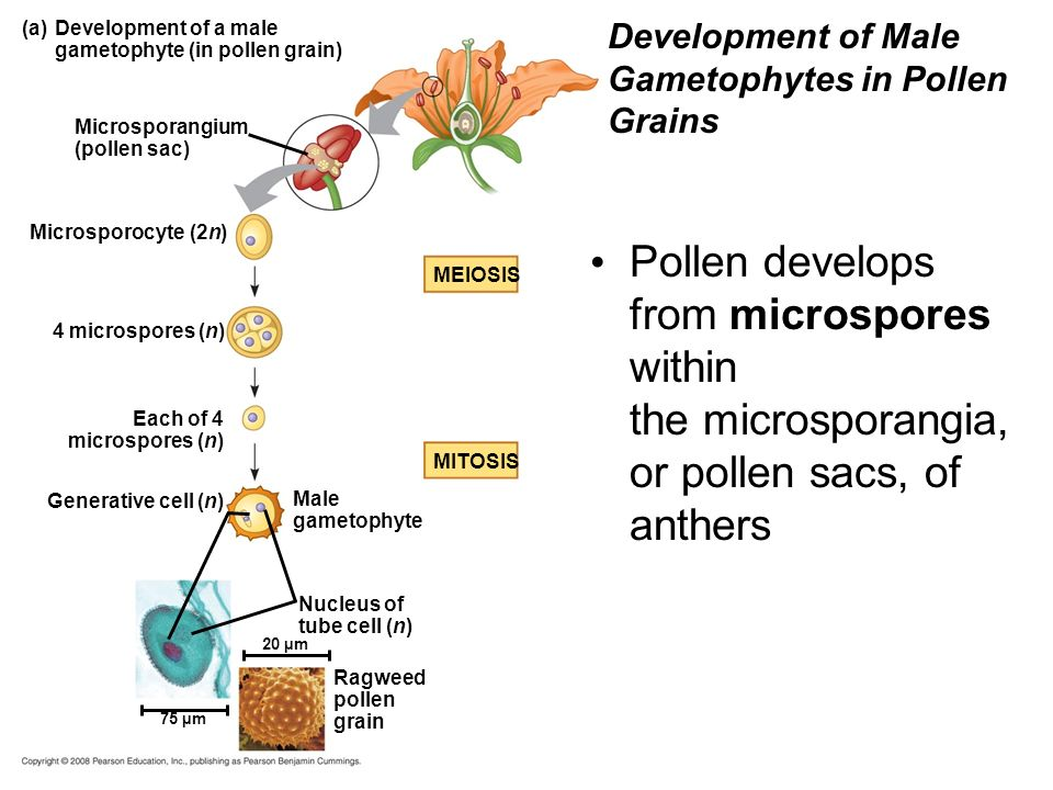 Development of Male Gametophytes in Pollen Grains
