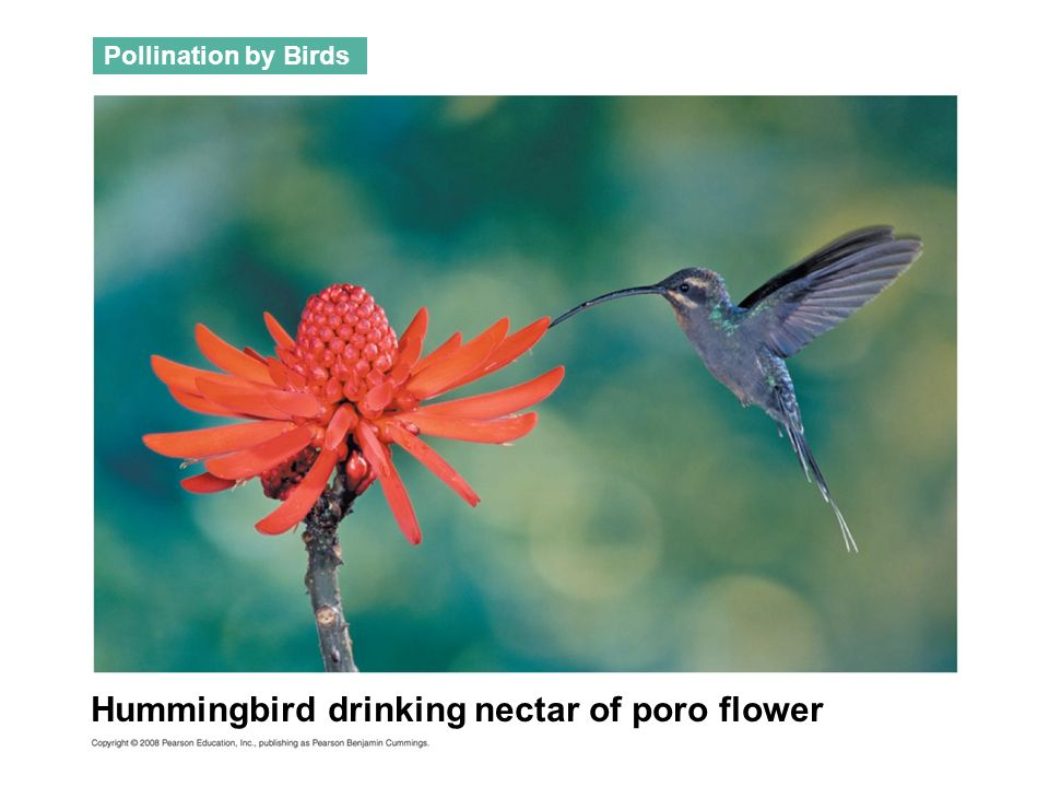 Hummingbird drinking nectar of poro flower