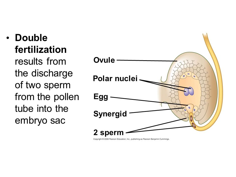 Double fertilization results from the discharge of two sperm from the pollen tube into the embryo sac