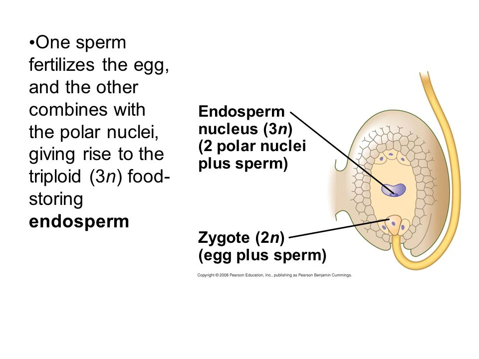 One sperm fertilizes the egg, and the other combines with the polar nuclei, giving rise to the triploid (3n) food-storing endosperm