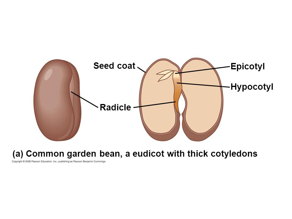 Seed coat Epicotyl Hypocotyl Radicle (a) Common garden bean, a eudicot with thick cotyledons