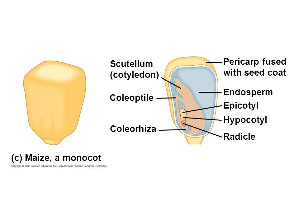 Pericarp fused with seed coat. Scutellum. (cotyledon) Endosperm. Coleoptile. Epicotyl. Hypocotyl.