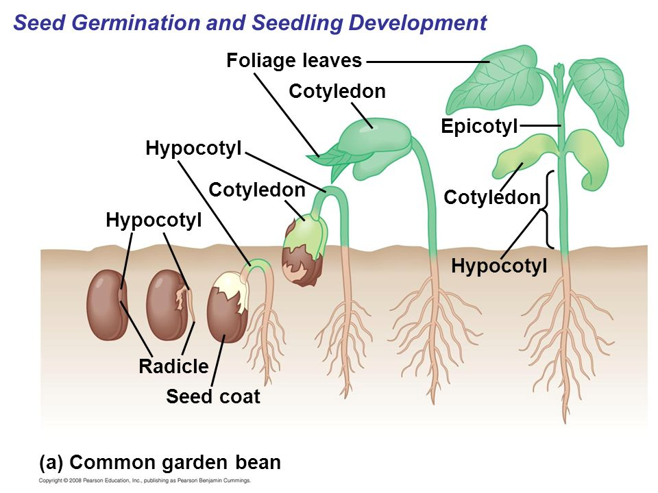 Seed Germination and Seedling Development
