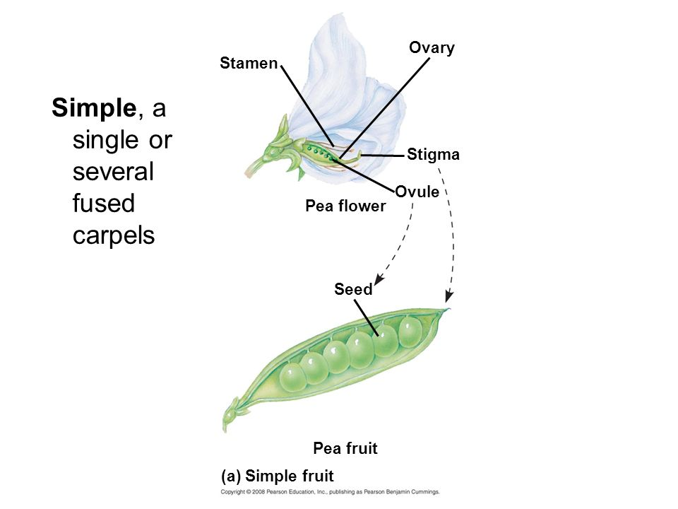 Simple, a single or several fused carpels