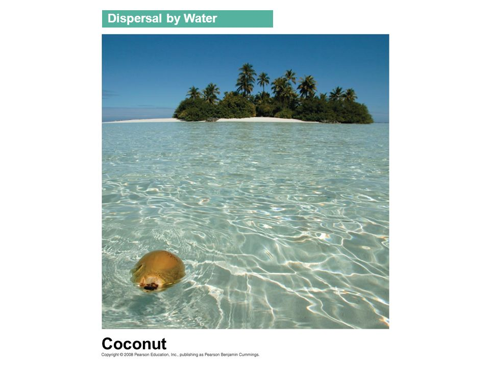 Dispersal by Water Coconut