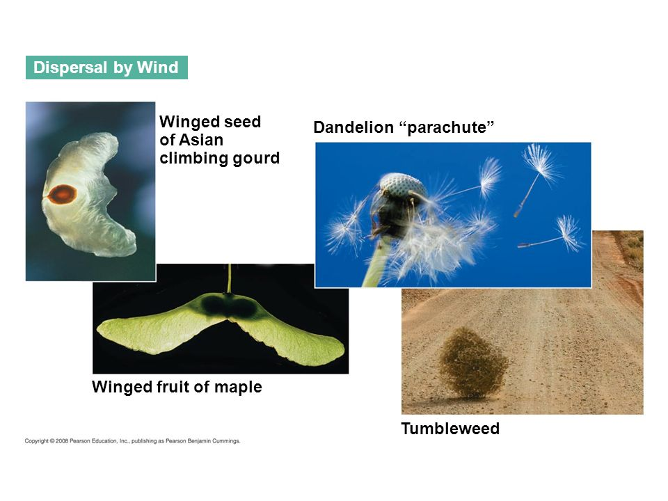 Dispersal by Wind Winged seed. of Asian. climbing gourd. Dandelion parachute Winged fruit of maple.
