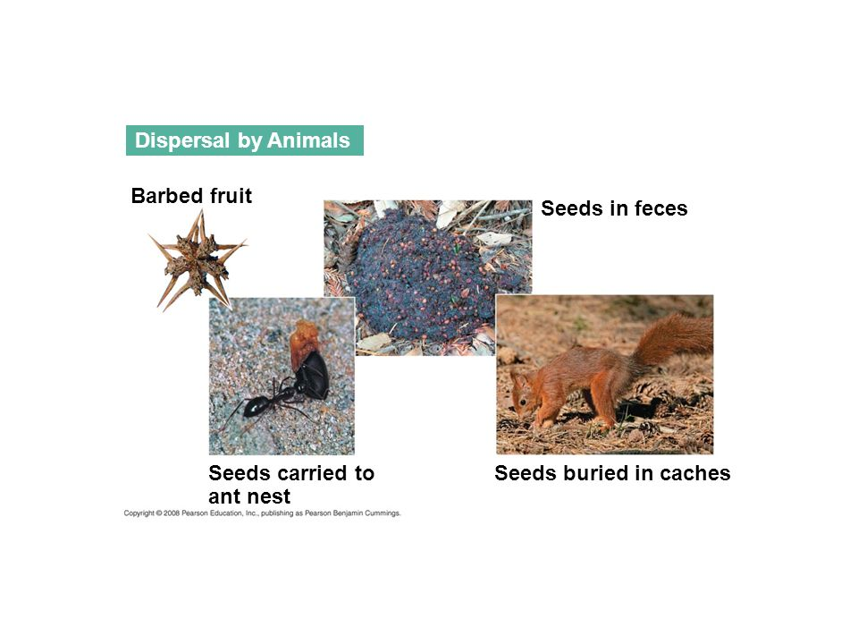 Dispersal by Animals Barbed fruit Seeds in feces Seeds carried to ant nest Seeds buried in caches