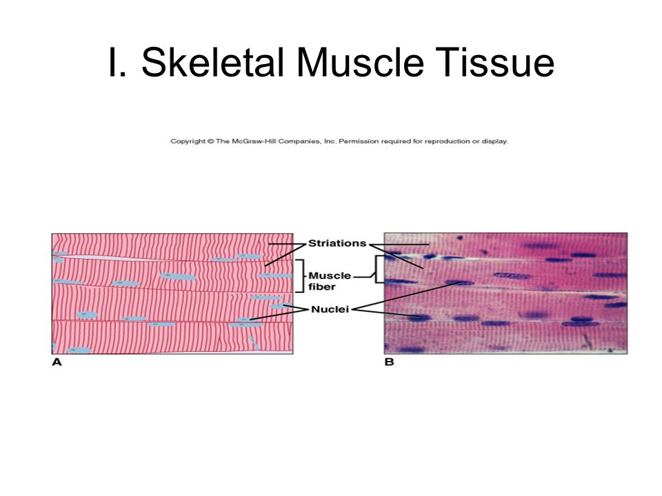 I. Skeletal Muscle Tissue