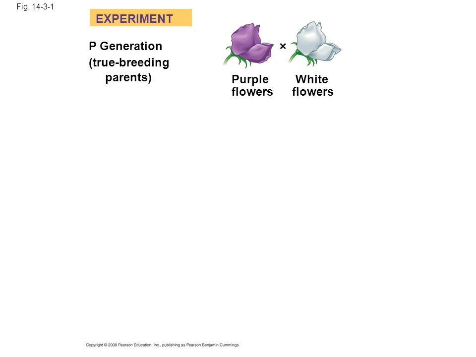 EXPERIMENT P Generation (true-breeding parents) Purple flowers White