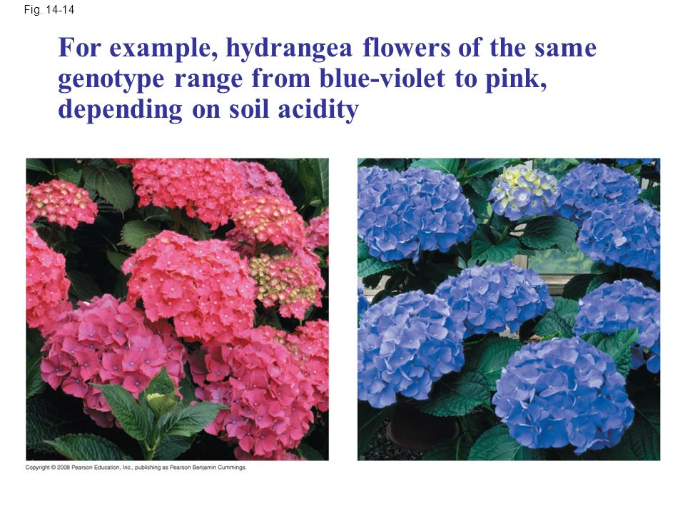 Fig. 14-14 For example, hydrangea flowers of the same genotype range from blue-violet to pink, depending on soil acidity.