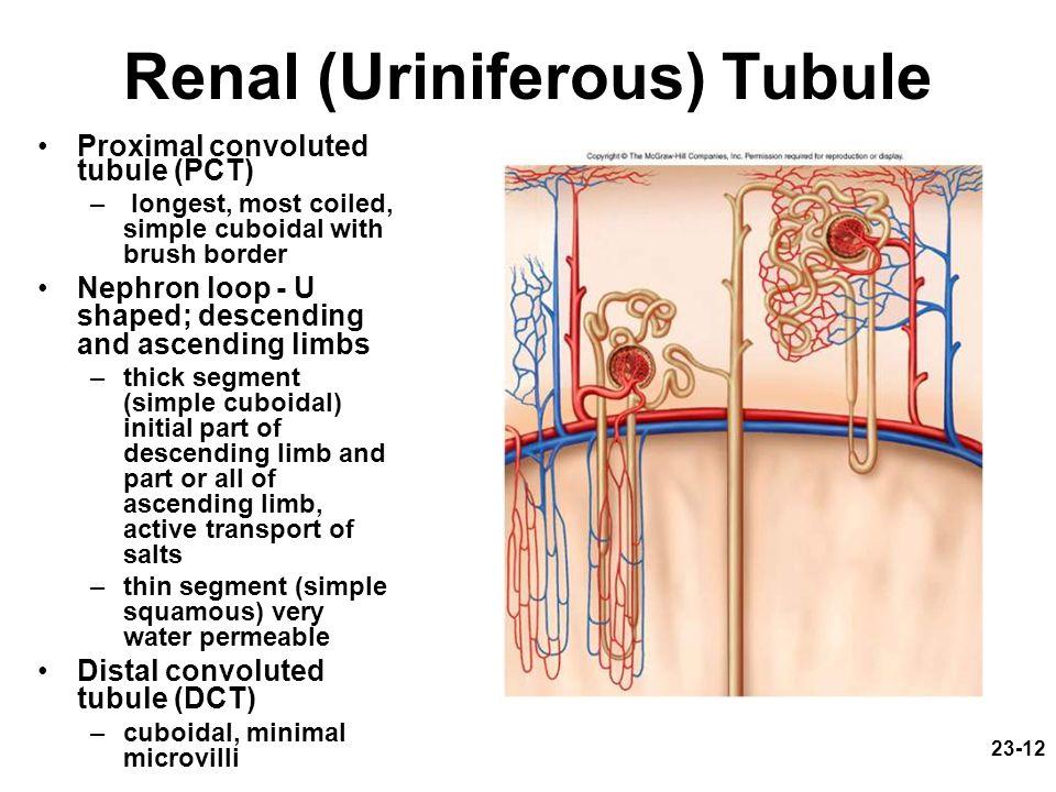 Renal (Uriniferous) Tubule