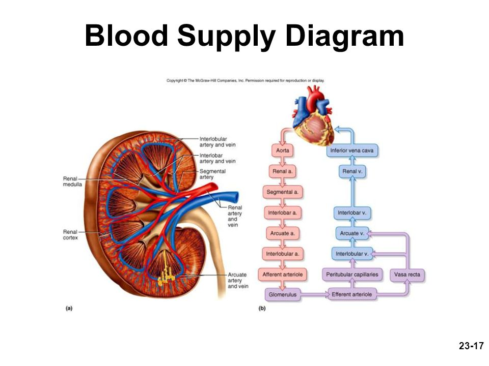 Blood Supply Diagram