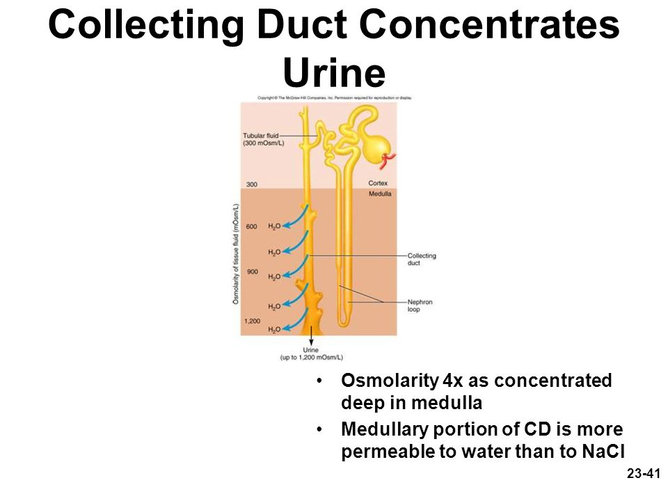 Collecting Duct Concentrates Urine