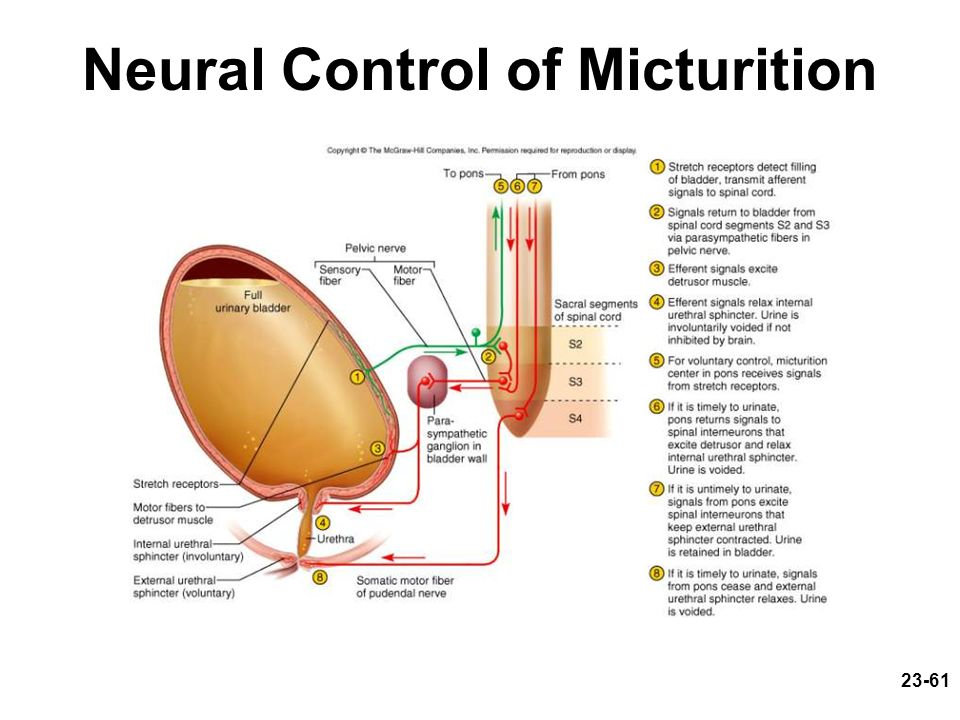 Neural Control of Micturition