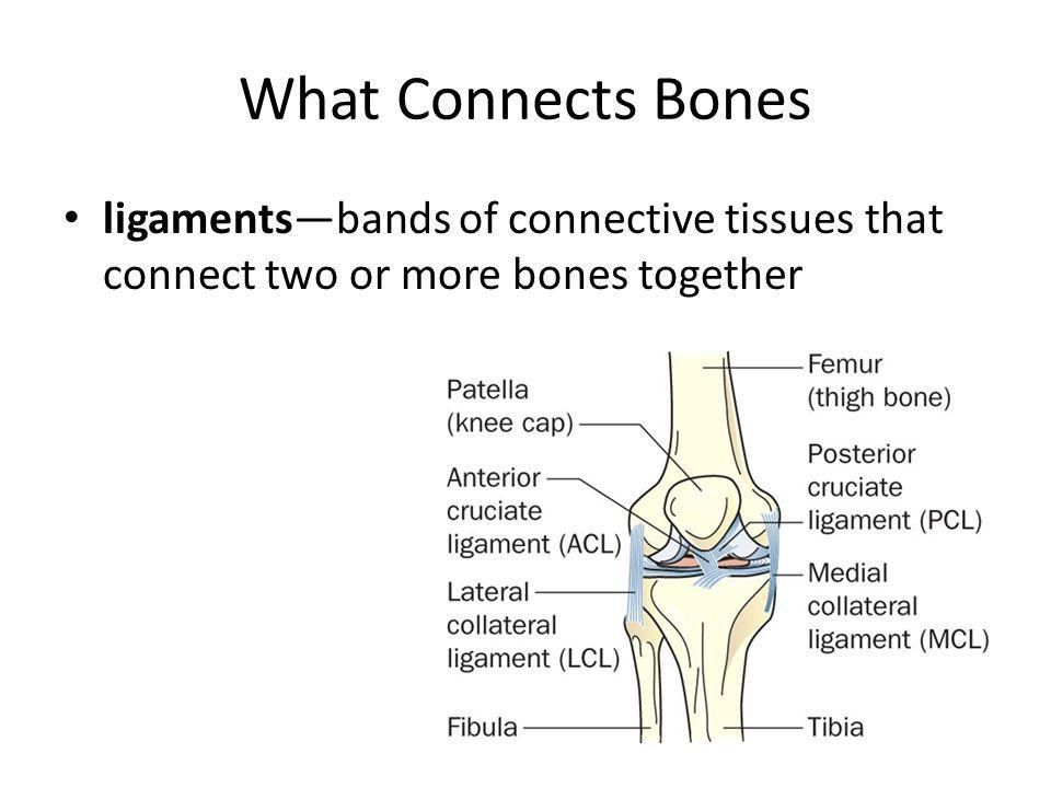 What Connects Bones ligaments—bands of connective tissues that connect two or more bones together