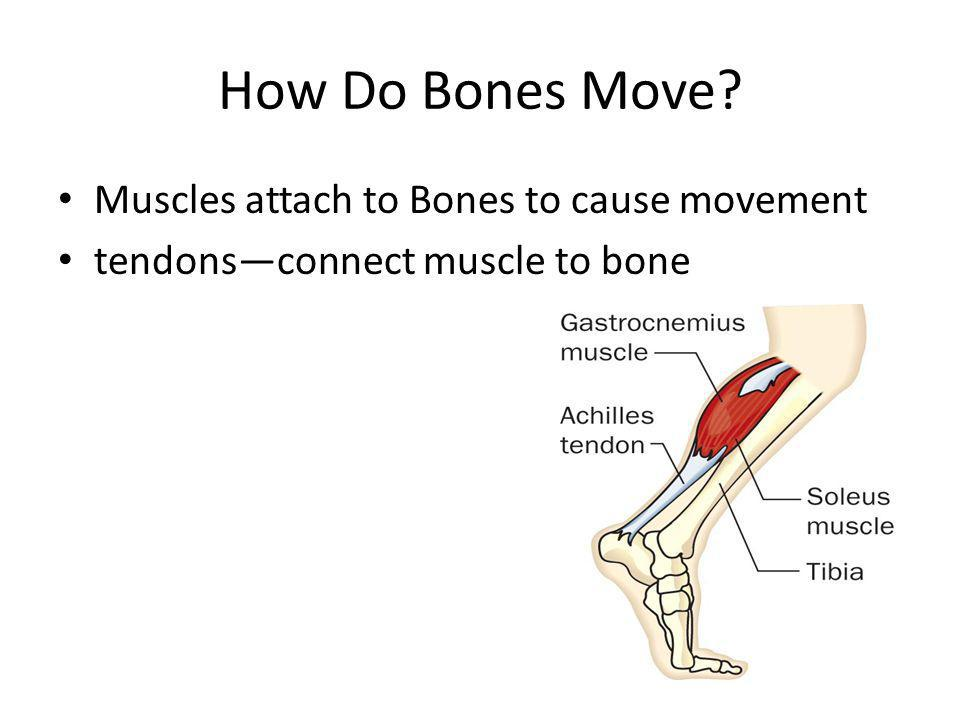 How Do Bones Move Muscles attach to Bones to cause movement