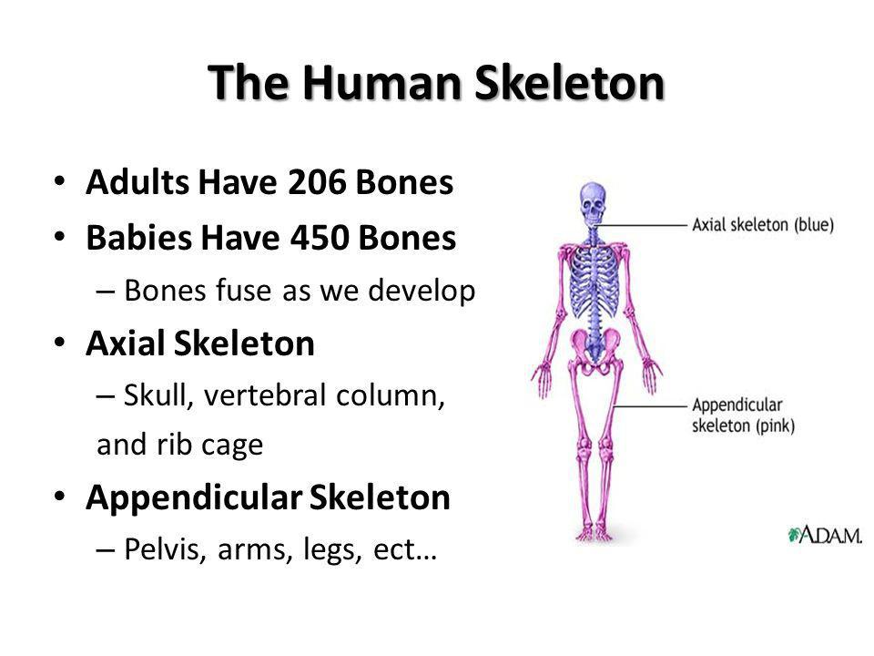 The Human Skeleton Adults Have 206 Bones Babies Have 450 Bones