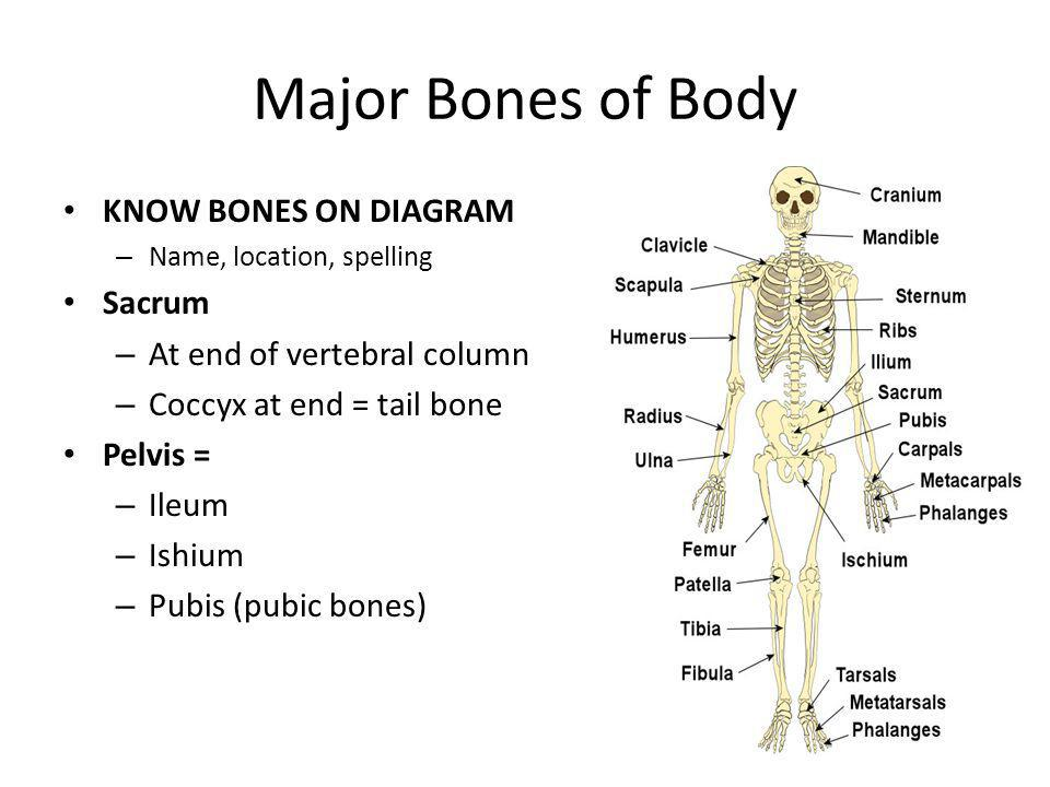 Major Bones of Body KNOW BONES ON DIAGRAM Sacrum